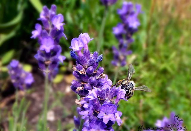 Лаванда и пчелы
