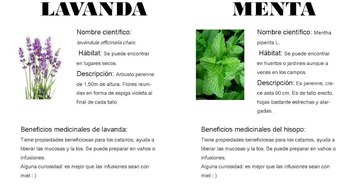 Plantas medicinales de puertomingalvo lavanda y menta for Manzanilla planta medicinal para que sirve