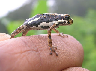 african tree toad