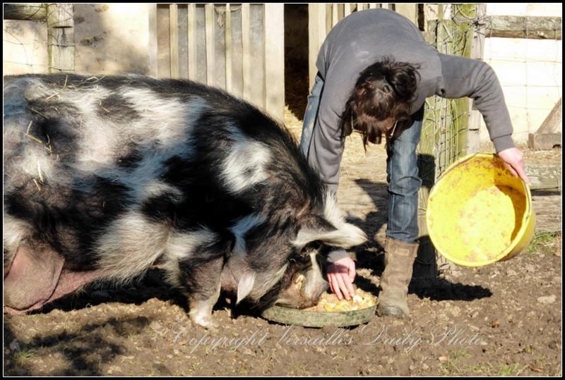 Pig feeding Queen's Hamlet Versailles