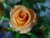 ..Ruusun tuoksua..