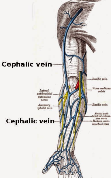 cephalic vein, Human body