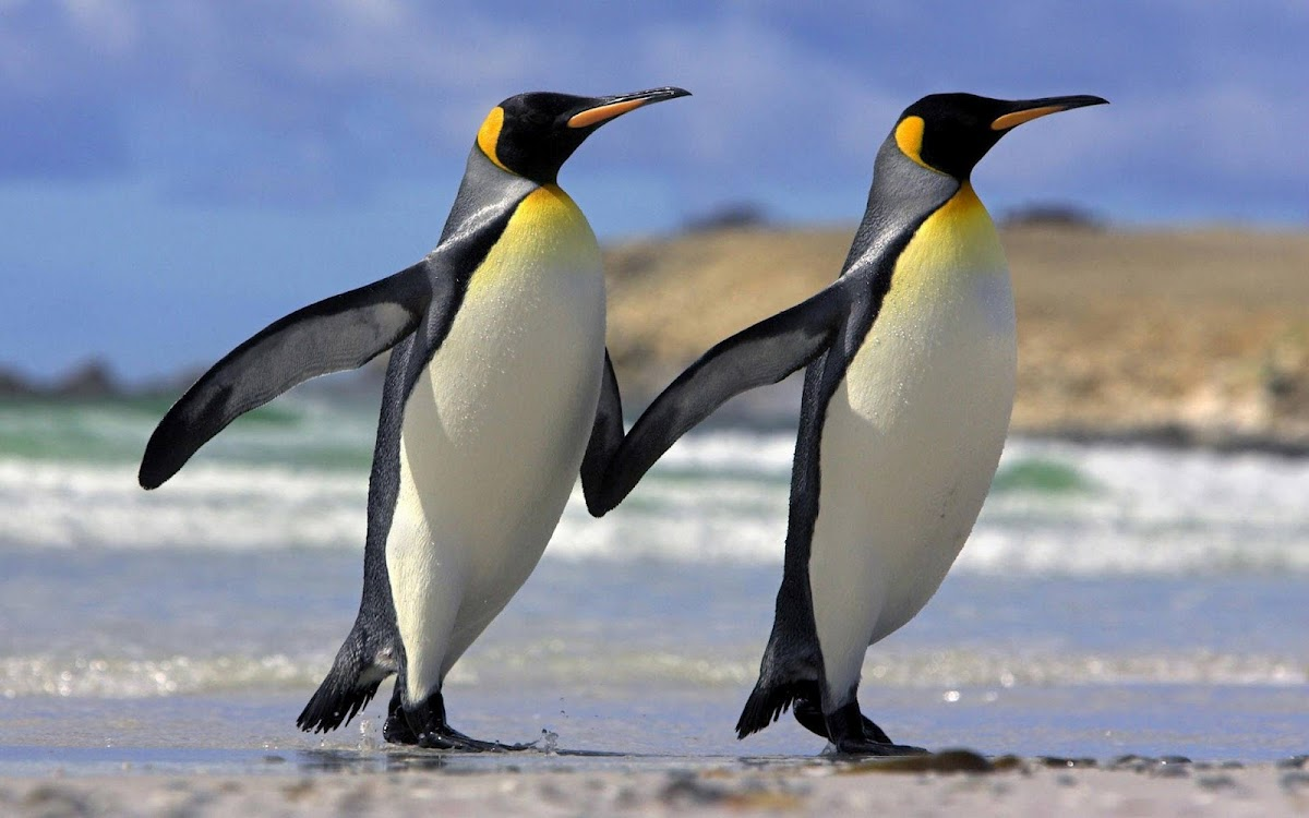 Penguin Parade Widescreen HD Wallpaper