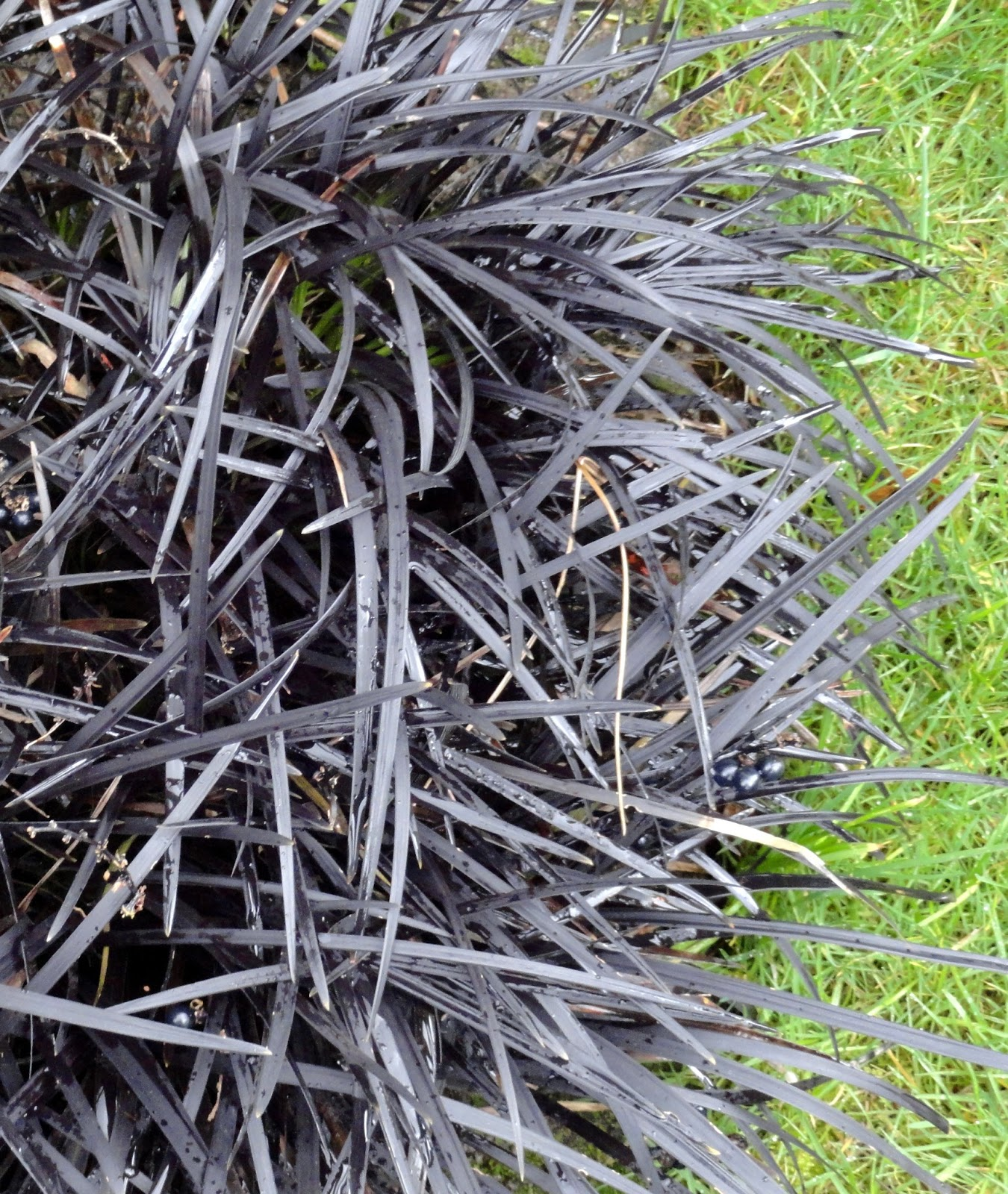 danger garden ophiopogon planiscapus nigrescens my favorite plant in the garden this week. Black Bedroom Furniture Sets. Home Design Ideas