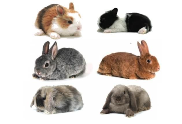 El conejo enano - Blog El blog de las mascotas.