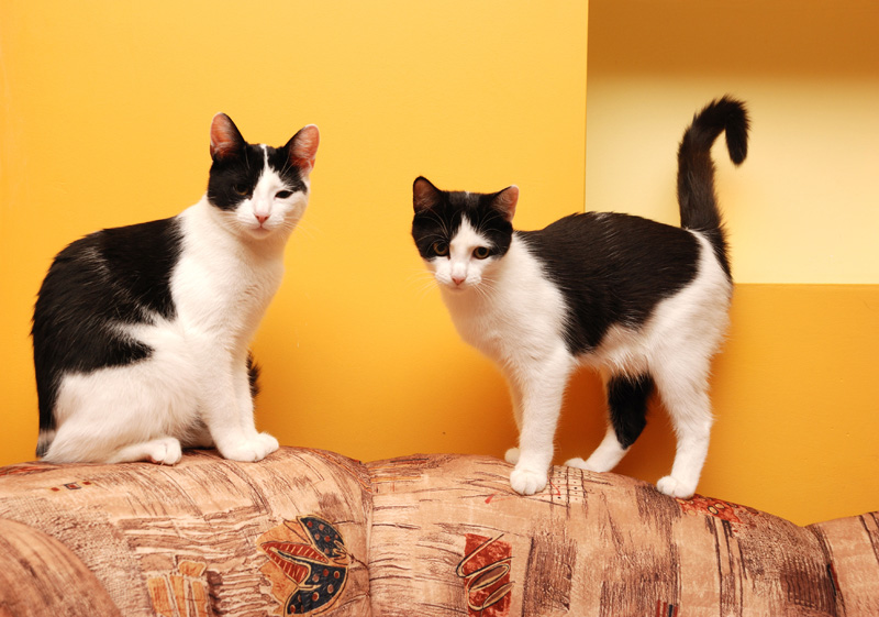 Two black-and-white cats on the back of a sofa against a yellow wall