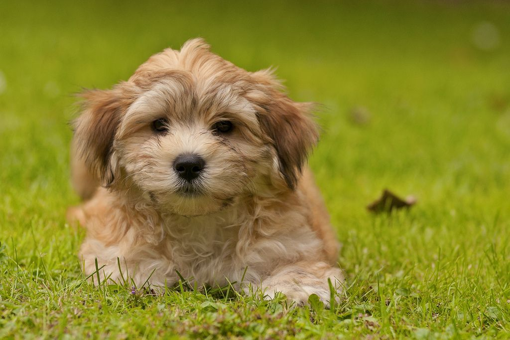 Havanese pup 10 weeks old