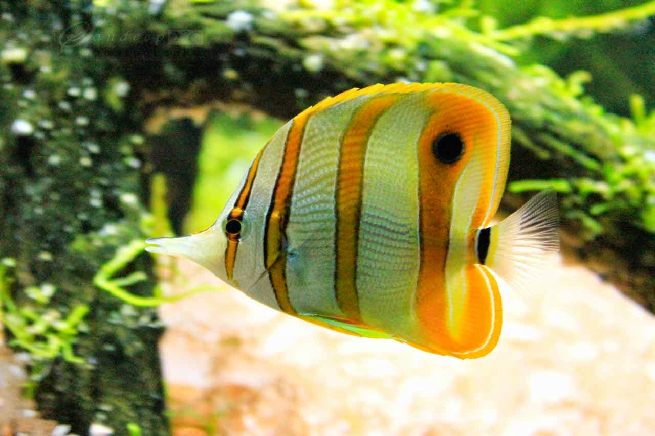 copperband butterfly fish