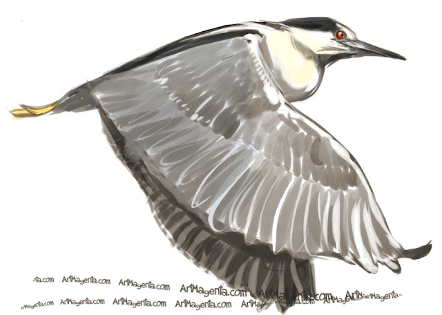 Black-crowned Night Heron sketch painting. Bird art drawing by illustrator Artmagenta