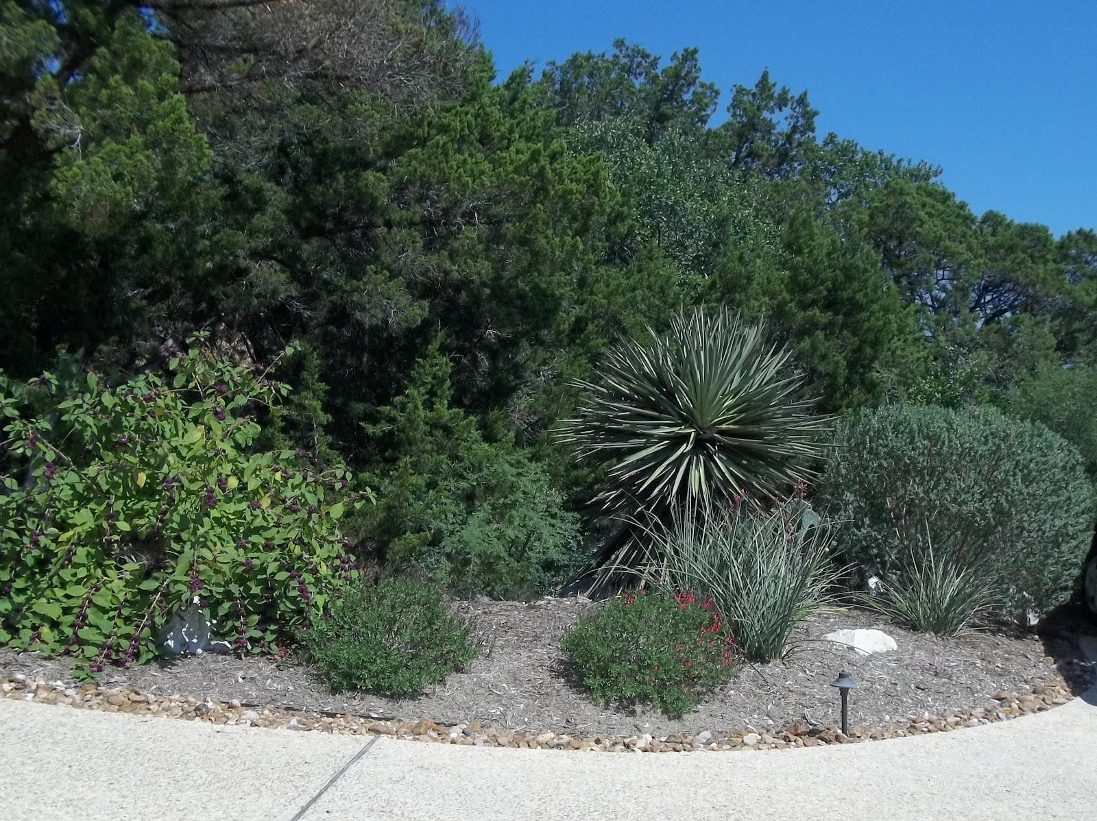 Parking Area Plantings  Very Xeric. Beautyberry On The Left, Yucca,  Hesperaloe, Autumn Sage.