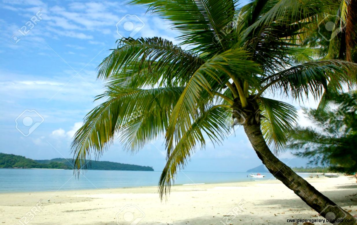 Palm Tree On Tropical Beach Stock Photo Picture And Royalty Free