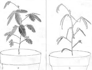 Gambar 15.   a . Tumbuhan putri malu