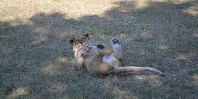 Duma, The Lion
