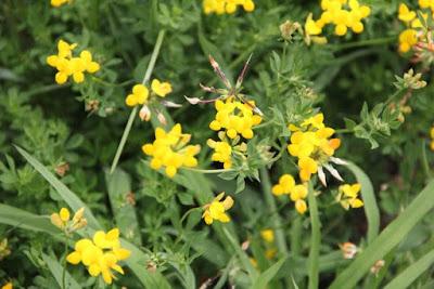 Birdsfoot trefoil, a Minnesota invasive plant