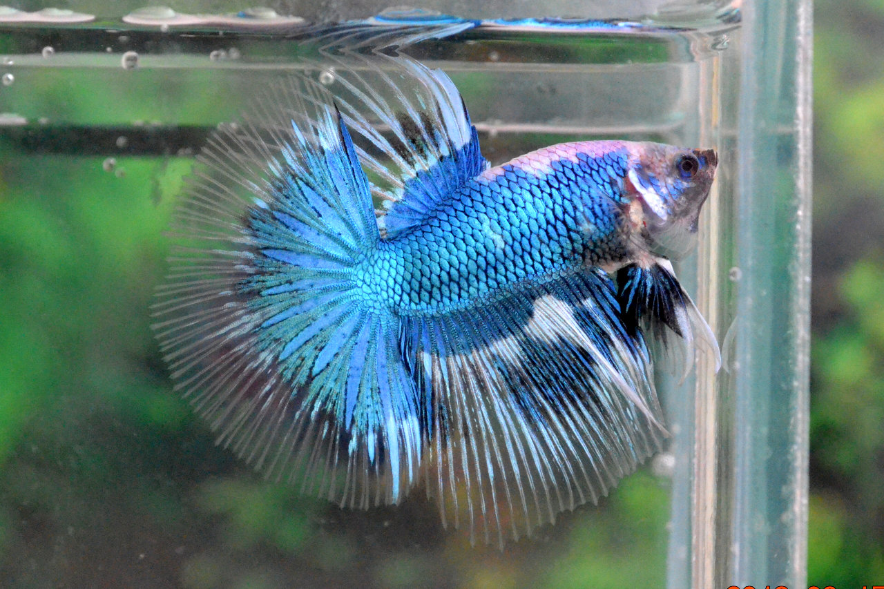 HM361 - Blue Marble Butterfly Halfmoon ! ~ Betta 138