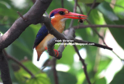 Black-backed Kingfisher (Oriental Dwarf Kingfisher) in Bidadari