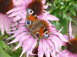 Zwabianie motyli do ogrodu