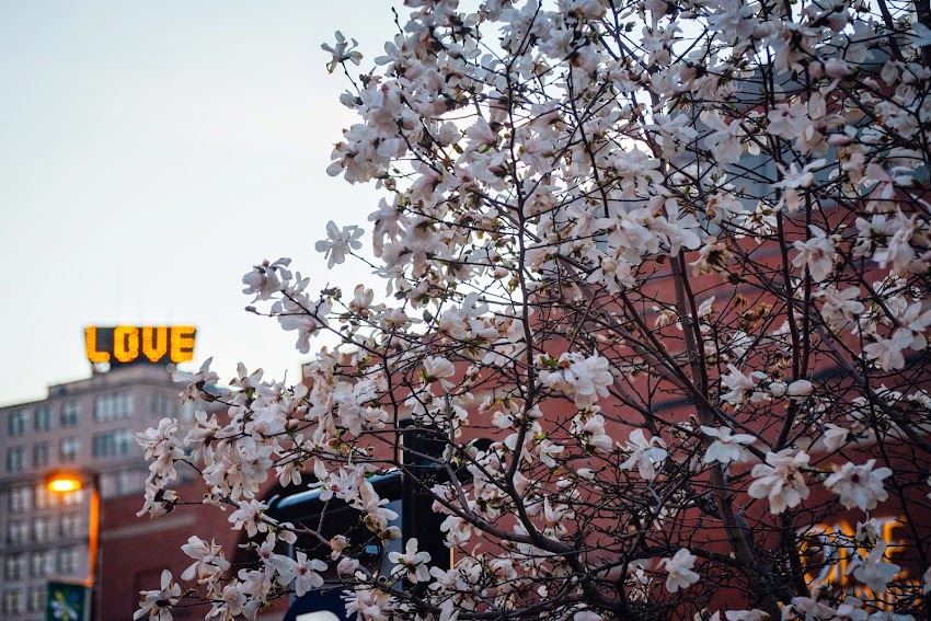 Portland, Maine USA April 2015 Love Spring blossoms on Temple Street photo by Corey Templeton.