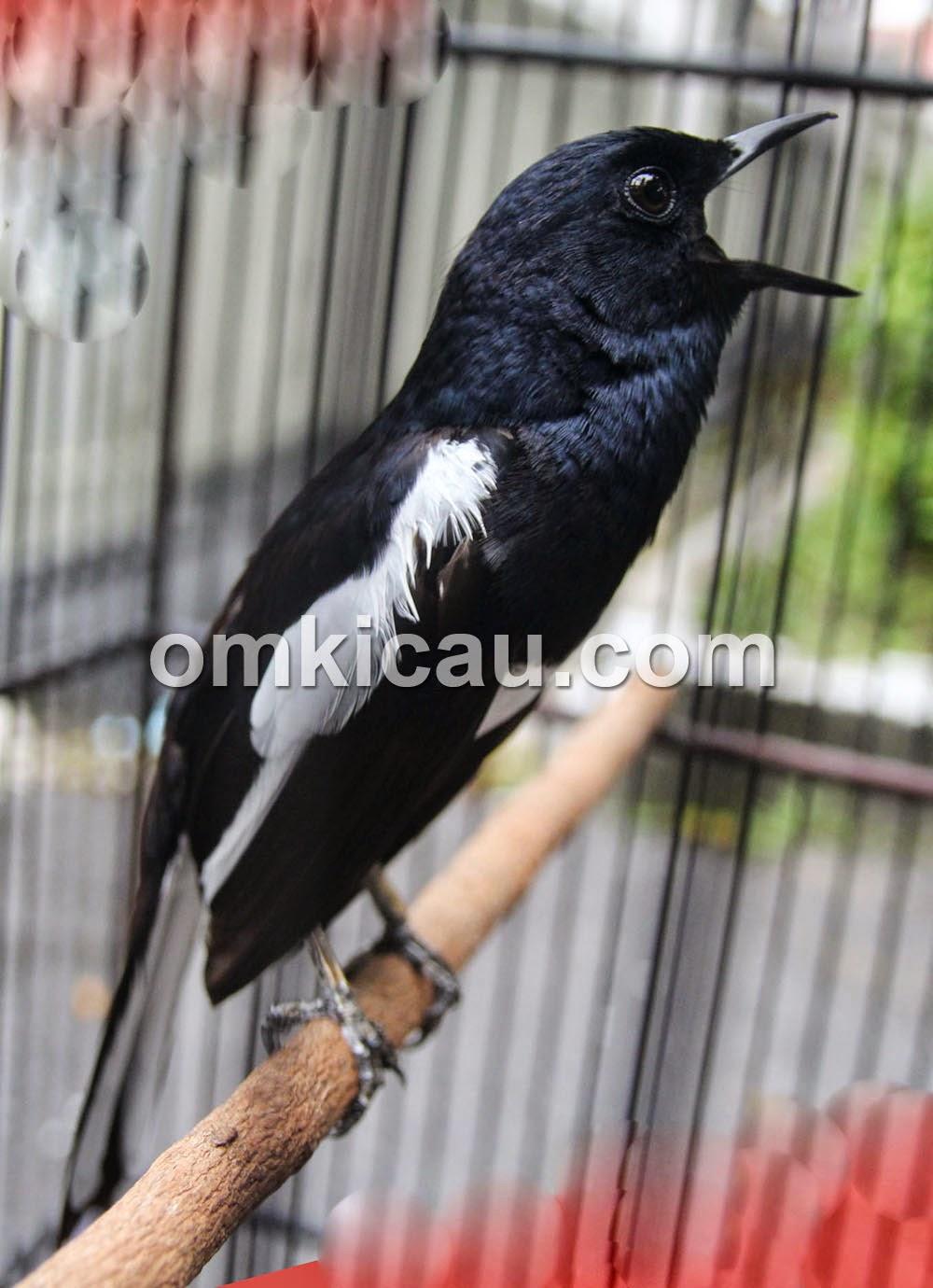 Gambar Cara Merawat Burung Kacer