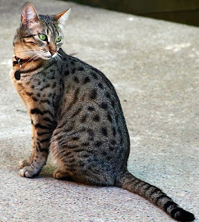Egyptian Mau Cat Pictures