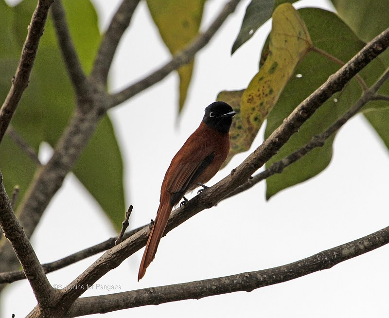 Red-bellied Paradise Flycatcher (Terpsiphone rufiventer) in Gambia.