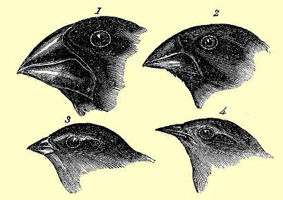 Galapagos finches.