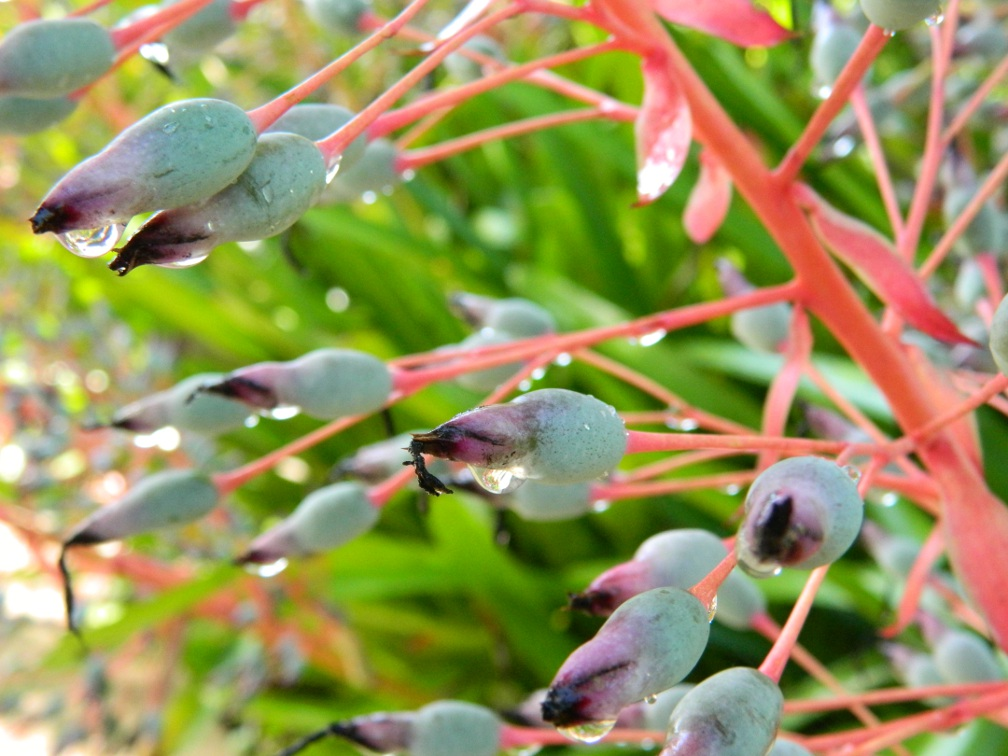 Brazilian Garden Naples Botanical Garden closeup bromeliad seeds covered morning dew by garden muses-a Toronto gardening blog