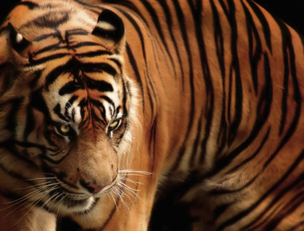 17 Best ideas about Habitat Of <b>Tiger</b> on Pinterest | Why are <b>tigers</b> ...
