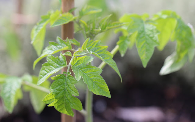 tomatplante