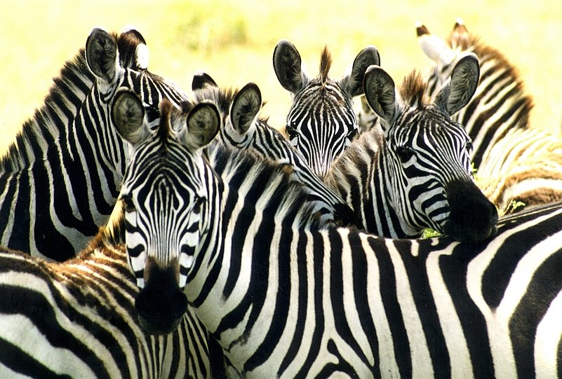 http://3.bp.blogspot.com/-pSL0ucJUDxA/TxQ4wHZXuoI/AAAAAAAAE1c/tZRDqEy4R-o/s1600/zebras.jpg