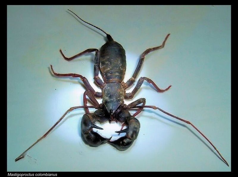 Tailless whiptail scorpion