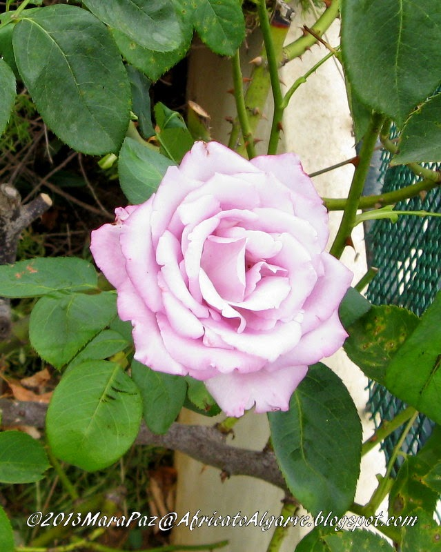 Fragrant rose