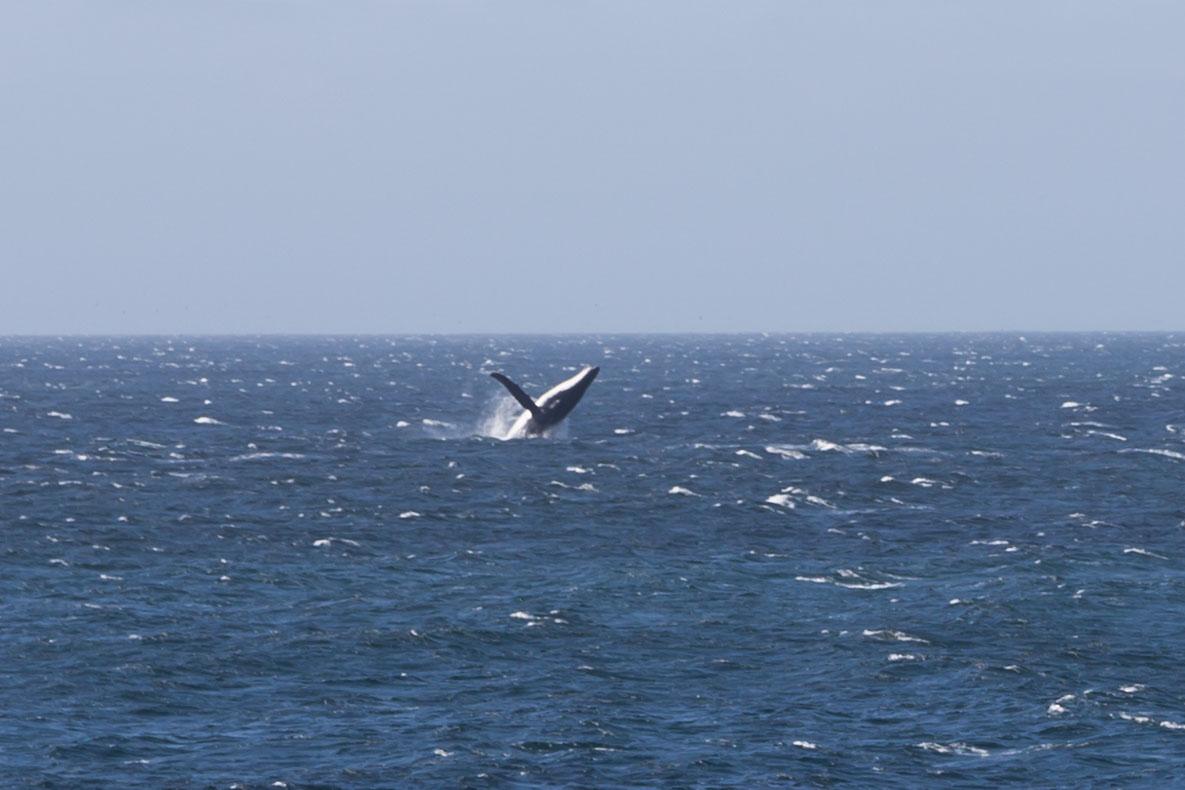 whale breaching wilderness coast victoria nsw