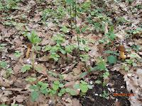 Verpes coniques - Verpa conica