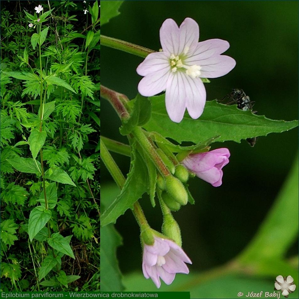 Epilobium parviflorum - Wierzbownica drobnokwiatowa