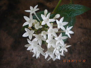 whitepenta