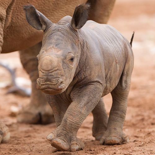 Baby Black Rhino calf walking with mom