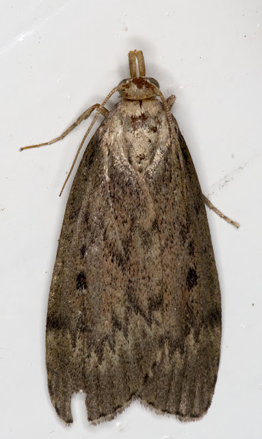 Bee Moth, Aphomia sociella.   Found in my house in Hayes on 21 July 2012.