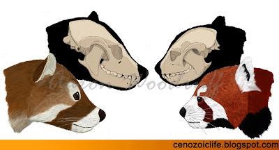 Pristinailurus and Ailurus