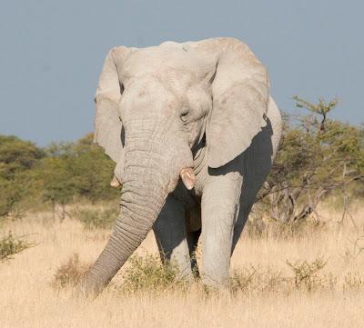 white elephant image