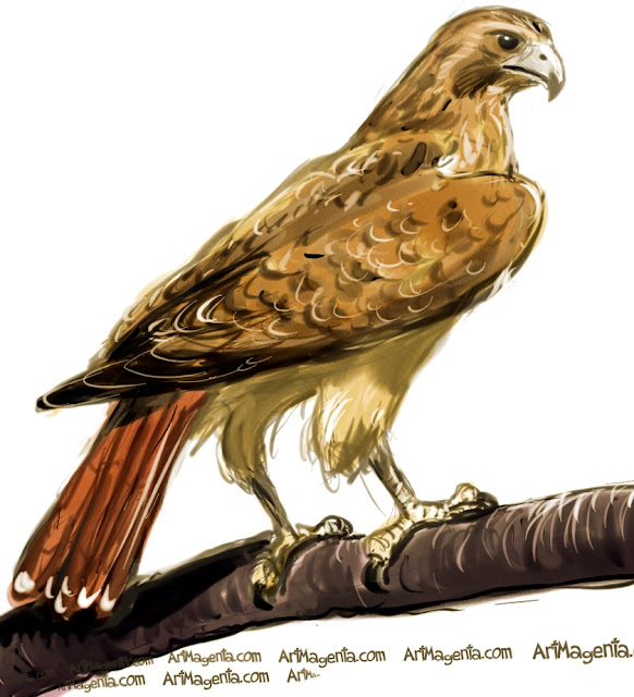 Redtailed Hawk sketch painting. Bird art drawing by illustrator Artmagenta