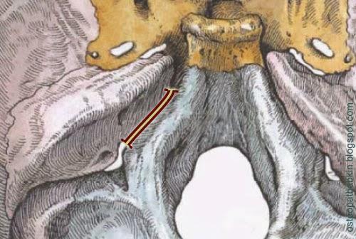 Каменисто-базилярный, петро-базилярный шов, sutura petrooccipitalis,
