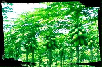 Beberapa Manfaat Pohon Pepaya Untuk Kesehatan Tubuh