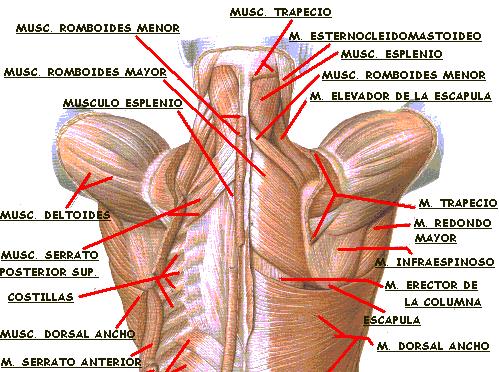 http://3.bp.blogspot.com/-pUmB9baqczQ/UZ8wmWvvAnI/AAAAAAAAAuQ/7X8mtlncfDA/s1600/cintura+escapular+musculos.jpg