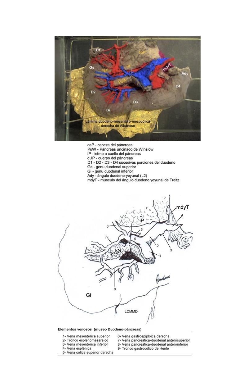 Cuadernos de Anatomía Quirúrgica: Drenaje venoso del páncreas cefálico.