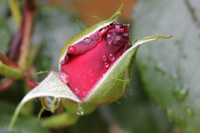 http://3.bp.blogspot.com/-pVOKjLQf1hg/T78lOk5_5II/AAAAAAAAAS8/pDP8UrmbI5U/s640/rose+rouge.jpg