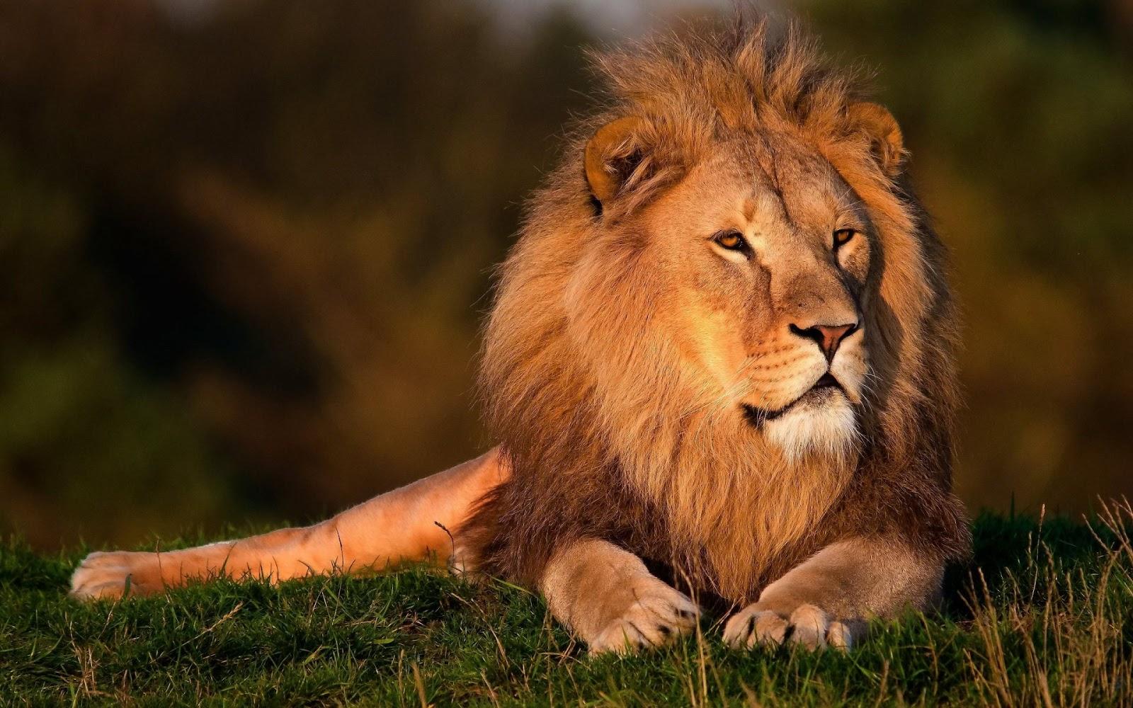 Lion Male Chilling