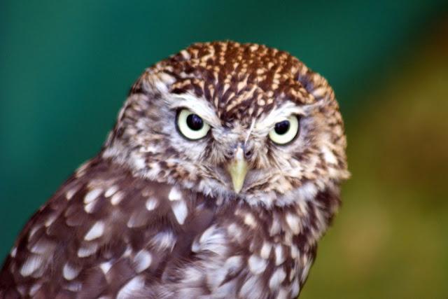 Owl Ring Uk