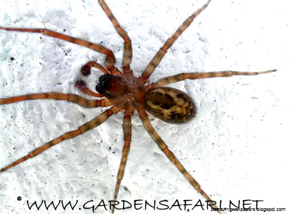 Gardensafari House Spiders with lots of pictures