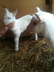 Baby Girl Saanen Twins, Belle's Babies